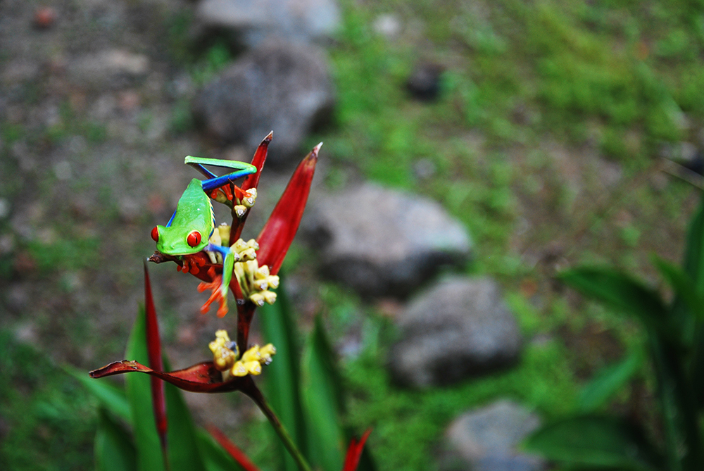 broscuta nationala a Costa Ricai_2